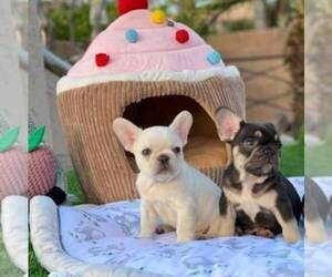 French Bulldog Puppy for Sale in GILBERT, Arizona USA