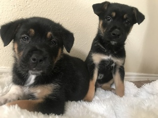 German Shepherd Dog-Unknown Mix Puppy for sale in ARLINGTON, TX, USA