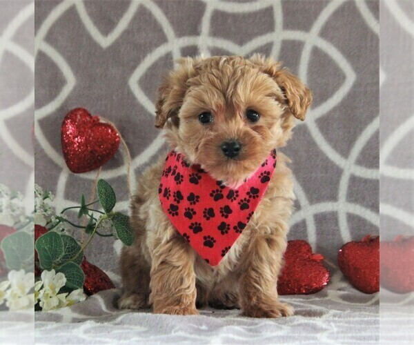 Medium Photo #1 Cavachon-Poodle (Miniature) Mix Puppy For Sale in GORDONVILLE, PA, USA