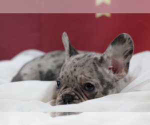 French Bulldog Puppy for sale in CASTLETON, IN, USA