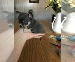Micro Tcup Applehead showy Chihuahua