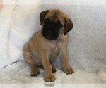 Puppy 9 Cane Corso