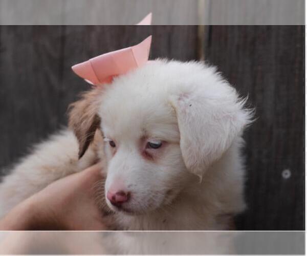 Medium Photo #5 Australian Shepherd Puppy For Sale in MODESTO, CA, USA