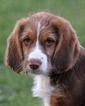 Bloodhound-Poodle (Standard) Mix Dog For Adoption in Abilene, TX