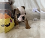 Small #10 English Bulldog