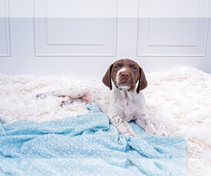 German Shorthaired Pointer Puppy for Sale in BOISE, Idaho USA