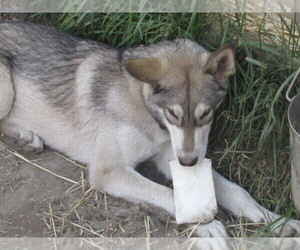 Wolf Hybrid Puppy for Sale in BECKLEY, West Virginia USA