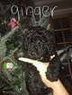 Small Photo #7 Poodle (Standard) Puppy For Sale in TRYON, NC, USA