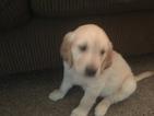 Golden Retriever Puppy For Sale in COLORADO SPRINGS, CO, USA