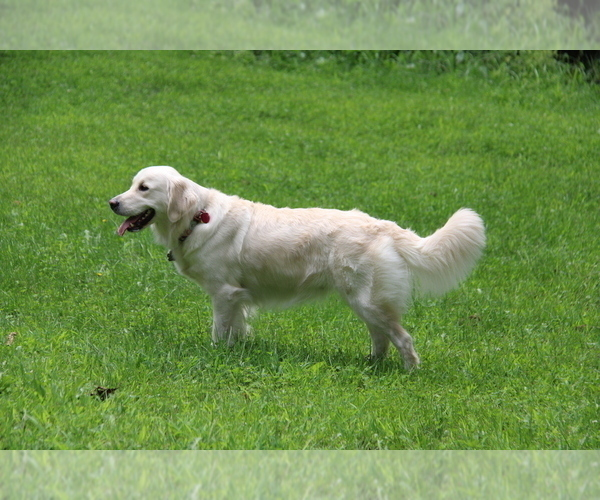 Full screen Photo #1 Golden Retriever Puppy For Sale in NASHVILLE, IN, USA