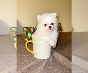 Pomeranian Puppy for sale in COLUMBIA, MO, USA