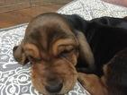 Basset Hound Puppy For Sale in RICHMOND, VA