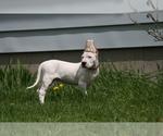 Small #6 Dogo Argentino