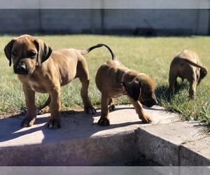 Rhodesian Ridgeback Puppy for sale in ALBUQUERQUE, NM, USA