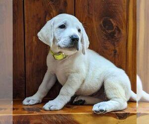 Labrador Retriever Puppy for sale in LINDEN, TN, USA