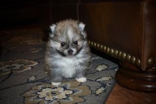 Tiny Toy Male Pomeranian
