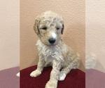 Puppy 1 Goldendoodle-Poodle (Standard) Mix