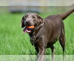 Labrador Retriever Puppy For Sale in OSTEEN, FL, USA