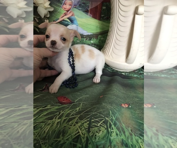 Medium Photo #1 Chihuahua Puppy For Sale in TRACY, CA, USA