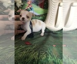Small Photo #1 Chihuahua Puppy For Sale in TRACY, CA, USA