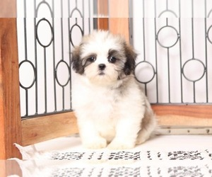 Mal-Shi Puppy for sale in NAPLES, FL, USA