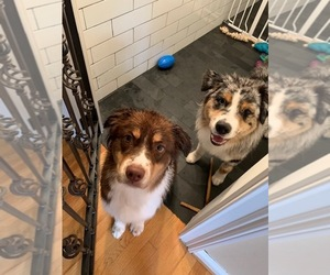Australian Shepherd Puppy for Sale in SPOTSYLVANIA, Virginia USA