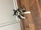 Siberian Husky Puppy For Sale in OCEANSIDE, CA