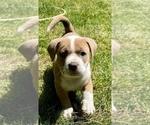 Puppy 1 American Bully