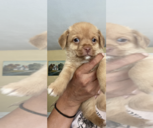 Cheenese Puppy for Sale in SALEM, New Hampshire USA