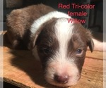 Australian Shepherd Puppy For Sale near 47355, Arba, IN, USA