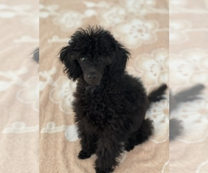 Poodle (Miniature) Puppy for sale in BOCA RATON, FL, USA