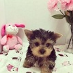 Yorkshire Terrier Puppy For Sale in LOS ANGELES, CA