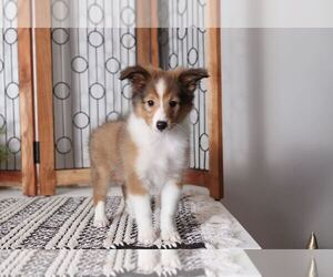 Shetland Sheepdog Dog for Adoption in NAPLES, Florida USA