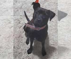 Patterdale Terrier Mix Dog for Adoption in ATLANTA, Georgia USA
