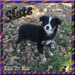 Slate Toy Small Mini Black Tri Male Aussie