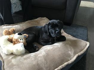 Cane Corso Puppy For Sale in CHAMPAIGN, IL