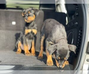 Rottweiler Puppy for Sale in DETROIT, Michigan USA