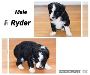 Aussie-Poo Puppy for sale in SHELBYVILLE, TN, USA