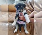 Puppy 2 Australian Shepherd-Siberian Husky Mix