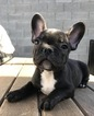 Brindle Male French Bulldog Puppy