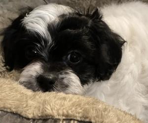 Zuchon Puppy for sale in HENRYETTA, OK, USA