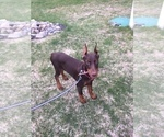 Small #1 Doberman Pinscher