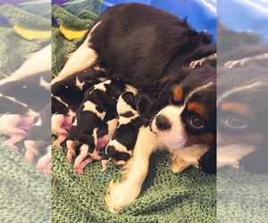Mother of the Cavalier King Charles Spaniel puppies born on 04/25/2021