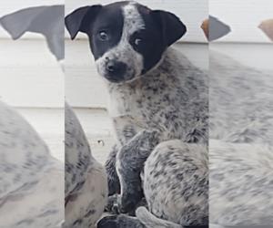 Australian Cattle Dog Puppy for sale in LA CROSSE, WI, USA