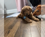 Small #32 Goldendoodle-Poodle (Standard) Mix