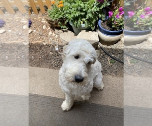 Mother of the Goldendoodle puppies born on 07/19/2021