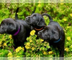 Labrador Retriever Puppy for sale in CITY OF SPOKANE VALLEY, WA, USA