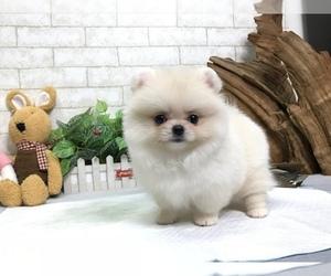 Pomeranian Dog for Adoption in SEATTLE, Washington USA