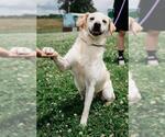 Small #494 Labrador Retriever Mix