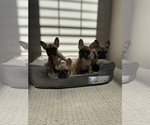 French Bulldog Puppy For Sale in BELL, CA, USA